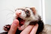 image of rabies  - Ferret bitting owners finger 3 years old - JPG