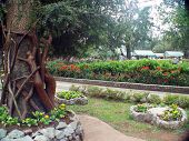 Baguio Trees
