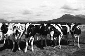 Holstein Cows Matanuska Valley Alaska
