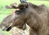 Moose/elk Head
