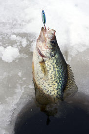 picture of crappie  - crappie caught ice fishing being pulled up the hole - JPG