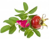 Rose hip, wild rose isolated on white background