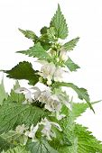 foto of dandruff  - Nettle with flowers isolated on white background - JPG