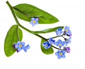 Frühling Blumen. Feld-Vergissmeinnicht (Myosotis Arvensis), isolated on white Background.