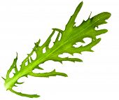 stock photo of escarole  - escarole endive  - JPG