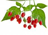 stock photo of belladonna  - nightshade plant with red berries isolated over white  - JPG