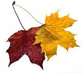 autumn leaves maple isolated on white background
