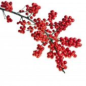 red berries holly  isolated on white