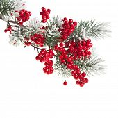 Christmas fir branch with red berries