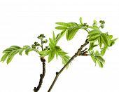 hojas jóvenes Serba aislado en blanco