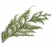 Foliage of Japanese Thuja tree, isolated