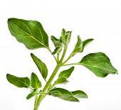 stock photo of origanum majorana  - fresh leaves oregano  - JPG