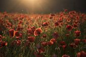 The Remembrance Poppy - Poppy Appeal. Flower For Remembrance Day, Memorial Day, Anzac Day In New Zea poster