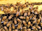 Italian Honey Bee Queen And Workers In Beehive On Honeycomb Laying Eggs And Attending The Queen poster