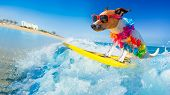 Jack Russell Dog Surfing On A Wave , On Ocean Sea On Summer Vacation Holidays, With Cool Sunglasses  poster