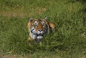 Bengal Tiger In The Grass 2