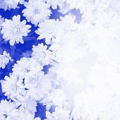 Blue Halftone Photo Of Mum Flowers With Fade For Writing