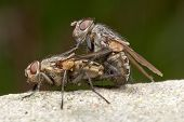 stock photo of animals sex reproduction  - Male and female Pollenia Cluster Flies mating - JPG
