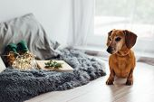 Christmas Dog Dachshund. Gray-haired Red Dog Dachshund In The Christmas Decor. A Gray Fluffy Blanket poster