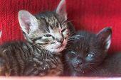 Two Little Sibling Kittens Sleep Side By Side. Cute Kitten Fed By A Man. Sleeping Babies Kittens. poster