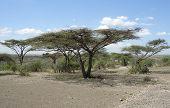 Umbrella Acacia Group