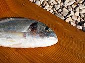 Goldbrasse Fische hautnah