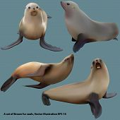 Set Of Realistic Cape Fur Seals (brown Fur Seal), Isolated, Vector Eps 10 poster