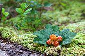 Cloudberry Closeup In Summer. Fresh Wild Fruit.