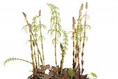 stock photo of horsetail  - young plants of horsetail on white background - JPG