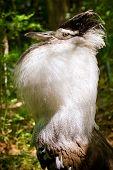Male kori bustard (Ardeotis kori) in full mating display in forested habitat