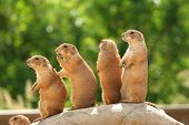Prairie Dogs On Rock