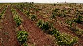Rows Of Grapevines Growing In Rural Countryside. Rows Of Grapevine Growing On Sunny Hill. Picturesqu poster