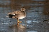 stock photo of gadwall  - A Gadwall  - JPG