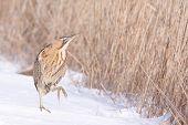 Bittern in snow