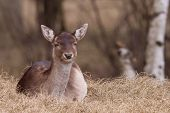 A fallow-deer is resting in the grass