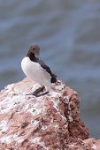 Guillemot on a cliff
