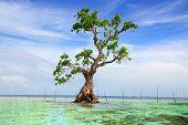 Mangroven-Baum. Siquijor Island, Philippinen