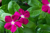 closeup flowers and leaves periwinkle