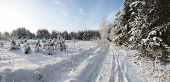 Winter Forest In Sunny Day.