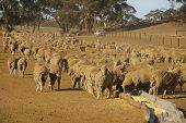 Sheep In Drought