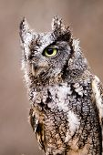 picture of screech-owl  - A gray phase eastern screech - JPG