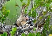 Newly Hatched Anhinga Chick