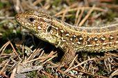 Portrait of lizard