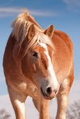 Beautiful blonde Belgian draft horse looking down to the right of the viewer, with a sweet look on h