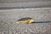 A turtle at 80 mile beach in Australia