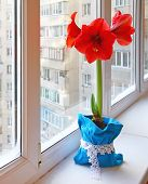 Red Hippeastrum On Window
