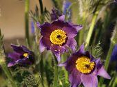Pasque flower in garden at spring
