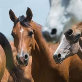 stock photo of herd  - Herd of horses running outdoor - JPG