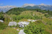 picture of velika  - Velika planina dwarf pine vegetation - JPG