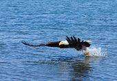picture of fish-eagle  - Bald Eagle Snatching a Fish from the Ocean - JPG